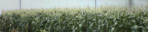 040726-corn.jpg