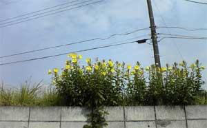 oomatsuyoigusa-1.jpg