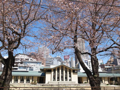 110404-mejiro-sakura.jpg