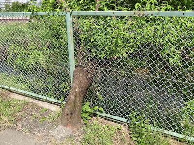 110604-fence-tree.jpg